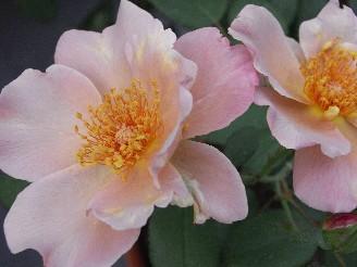 Richo10882_017pink_rose