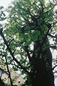 Fh010003_tree