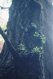 Fh010005_tree_kiri