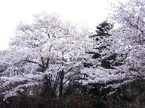 Rimg4671sakura