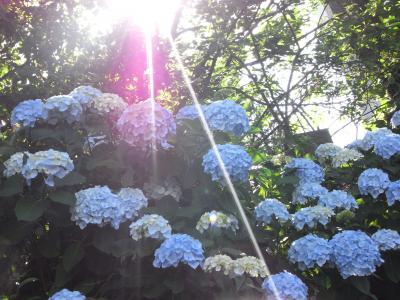 2010_0616hikari_ajisai2
